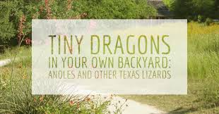 tiny dragons in your own backyard anoles and other texas lizards