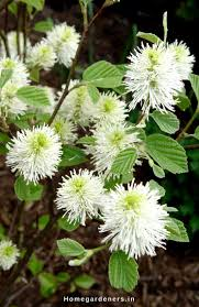 what are native plants best 25 buckeye tree ideas on pinterest buckeye crafts the