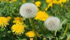 Dandelion Facts Cream Of Dandelion Soup A Weed Has Its Moment In The Sun Mnn