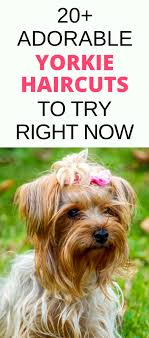 chorkie haircut styles 20 adorable yorkie haircuts yorkie hair styles to try right now