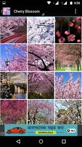 cherry blossom wallpaper hd android apps on google play