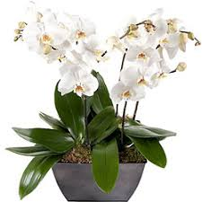Orchid Delivery Buy Magnificent Orchids Delivery In Belgium Aquarelle