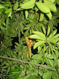 Ackee Fruit Tree - jamaican ackee