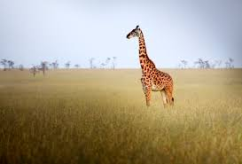 giraffes are four separate species researchers discover time com