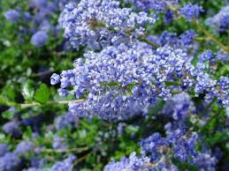 Shrub With Fragrant Purple Flowers - ceanothus u0027autumnal blue u0027 california lilac