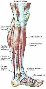 A Picture Of The Human Anatomy Anatomy Of The Muscle Relaxation And Massage Pinterest