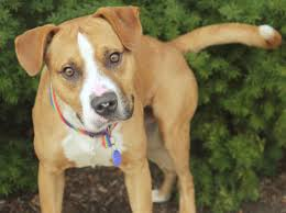 american pitbull terrier hound mix beagle bull pit bull beagle mix info puppies pictures