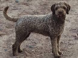 fino lagotto lagotto romagnolo puppies for sale