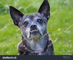 australian shepherd underbite dog underbite stock photo 261073643 shutterstock