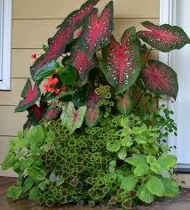 caladiums dragon wing begonias swedish ivy