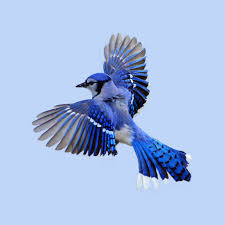 Blue Mood Meaning by Animal Symbolism Of The Blue Jay