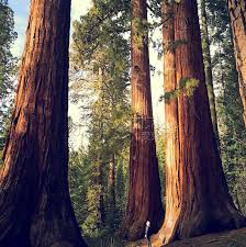 20 sequoia seeds redwood largest fresh park