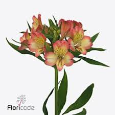 Alstroemeria Buy Alstroemeria Wholesale Flowers Online Wedding Flowers