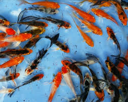 ornamental fish output 200m in 9 months financial tribune