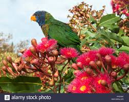 australian native plants melbourne australian native rainbow lorikeet browsing in flowering gum stock