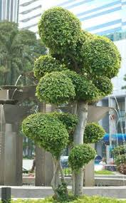 Topiary Cloud Trees - image detail for cloud pruning is usually seen in japanese style
