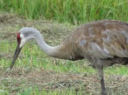 scene through my eyes sandhill cranes in wisconsin
