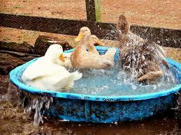 keeping ducks cool in the heat of summer hgtv