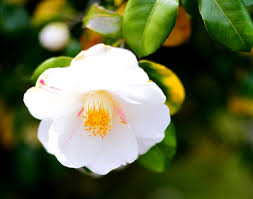 camellia flowers what do camellia flowers symbolize we bet you didn t this