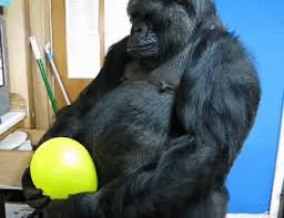 gorilla balloon gorila globo find make gfycat gifs