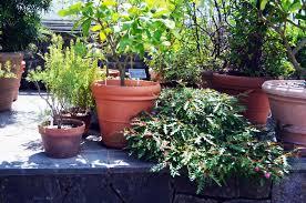 plant of the week grevillea u0027austraflora fanfare u0027 grevillea