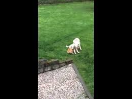 rescue an australian shepherd puppy adopted cobalt australian shepherd puppy washington german
