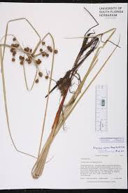 native florida air plants cyperus blepharoleptos species page isb atlas of florida plants