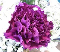 purple carnations 7 most beautiful carnation flowers