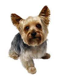 yorkie teddy bear face haircut shear perfection yorkshire terriers little dogs big personalities