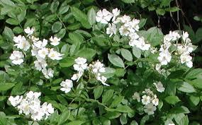 White Flowering Shrub - wild rose small white rambling rosa multiflora flowering