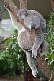 night night little koala koalas pinterest night night