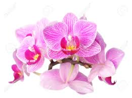 purple orchid flower closeup image of purple orchid flower on white background stock