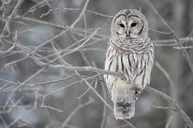 Vermont wildlife images Animals in winter barred owls vermont state parks jpg