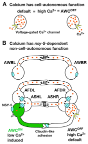 intercellular calcium signaling in a gap junction coupled cell