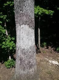 White Oak Tree Bark The Doctor U0027s In Organic Shrub And Tree Care Disease Control