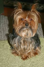 haircuts for yorkies miniature yorkshire terrier yorkie haircuts