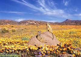 meerkats and desert flowers photo wp04189