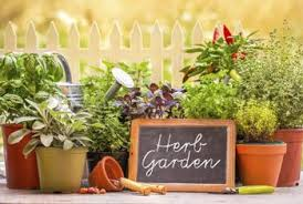 Why Are My Plants Turning by Why Are My Herbs Turning Yellow Home Guides Sf Gate
