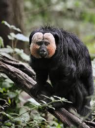 five new u201cflying monkeys u201d identified in amazon u2013 national