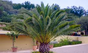 pair of canariensis canary island date palm