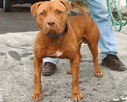 american pitbull terrier in india american pitbull terrier apbt the legend home facebook