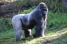 gorillas u2014 kidcyber
