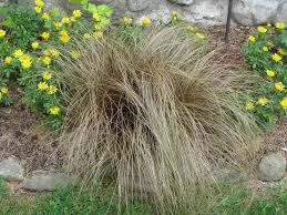 ornamental grasses uconnladybug s