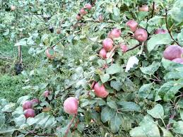insect traps for fruit trees pesticide free