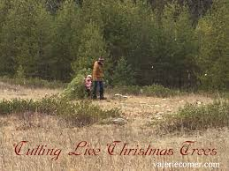 tradition cutting live christmas trees valerie comer