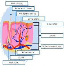 Human Anatomy Integumentary System Understanding The Basic Anatomy And Physiology Of The Human Body