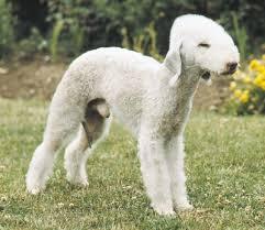 bedlington terrier guide bedlington terrier that stay small dog breed dog breeders guide