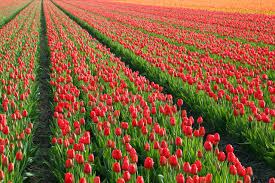 tulip fields cycling holiday leisurely cycling 4 nights