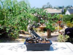 chinese elm bonsai with lovely look for indoor space latest home