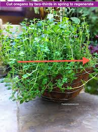 learn how to grow oregano the ultimate